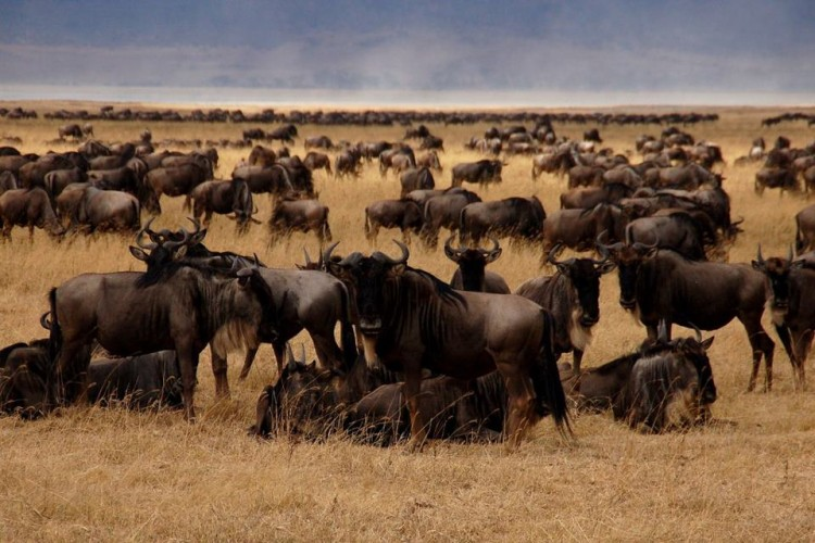 safari serengeti wildebeest